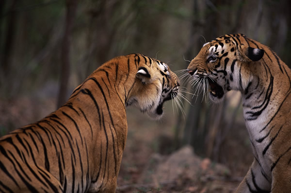WWF is to work with experiential agency BEcause to deliver a major campaign this summer, highlighting the plight of wild tigers.